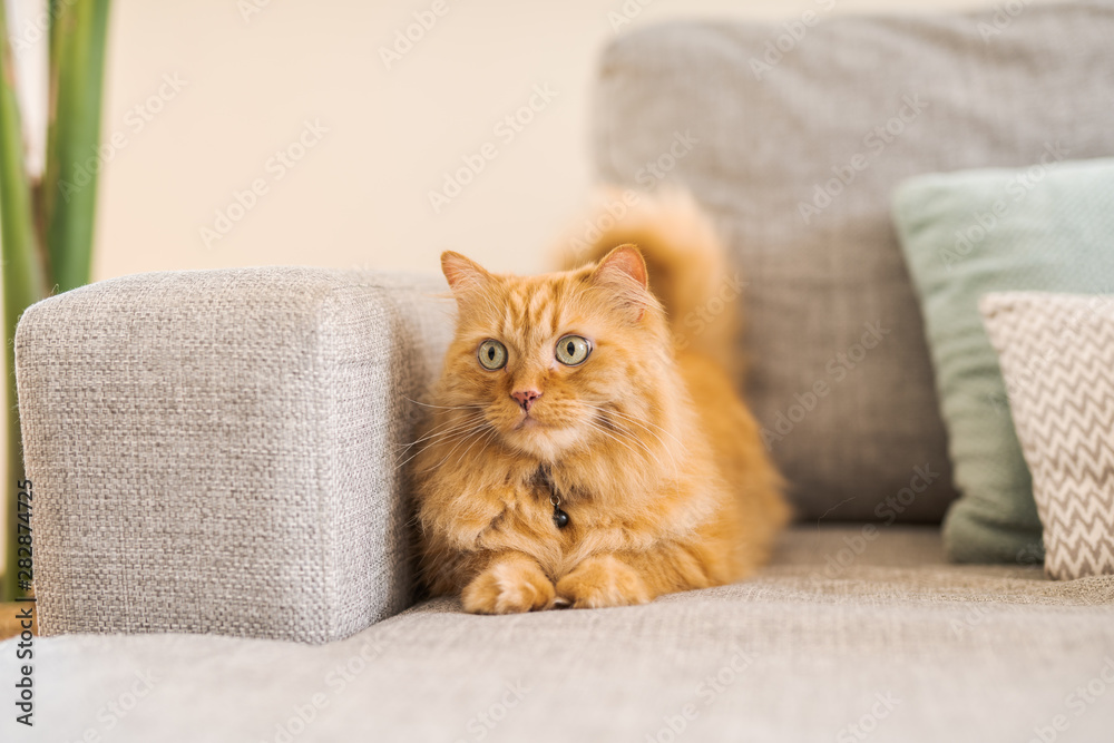 Fototapety, obrazy: Beautiful ginger long hair cat lying on the sofa on a sunny day at home