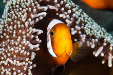 Banded Clownfish In Their Host Anemone On A Tropical Coral Reef In Asia