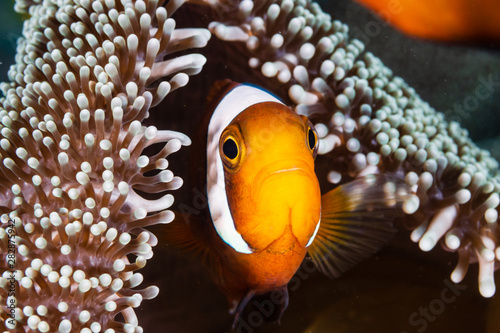 Canvas Banded Clownfish in their host anemone on a tropical coral reef in Asia