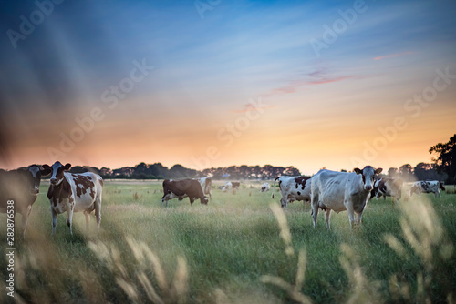 Dairy cattle in summer meadow at sunset.