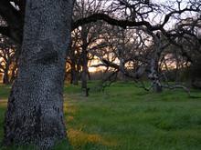 Oak Savanna At Sunrise, Willow...