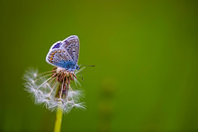Common Blue Butterfly Perching...