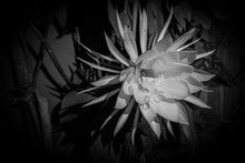 Queen Of The Night Bloom - Bla...
