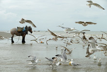Cold Blooded Horse Standing On The Beach Of The Belgian Coast While A Hord Of Great Black-backed Seagulls Are Flying Over The Beach And The Water