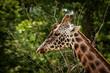 Żyrafa, głowa portret na tle zielonych liści.