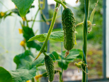 Growing Cucumbers In The Garden Summer Season Agriculture