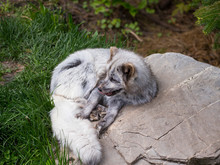 High Angle View Of Cute Young Arctic Fox In Summer Morph Licking Its Lips While Curled Up Resting In Garden In A Wildlife Rehabilitation Centre, Beauce Region, Quebec, Canada