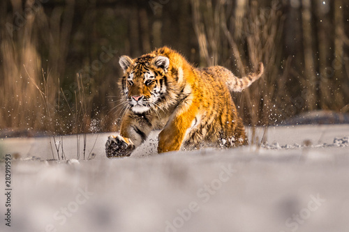 Foto op Aluminium Tijger Siberian Tiger running in snow. Beautiful, dynamic and powerful photo of this majestic animal. Set in environment typical for this amazing animal. Birches and meadows