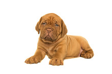 Cute Dogue De Bordeaux Puppy Lying Down Looking At The Camera Isolated On A White Background