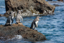 Group Of Galapagos Penguins On...
