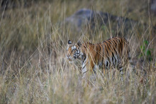 During Patrolling Her Territory, This Pregnant Female Tiger (panthera Tigris) Was Stalking A Prey In Hide Of Long Grass And  Camouflage Her Body At Kanha National Park, Madhya Pradesh, India