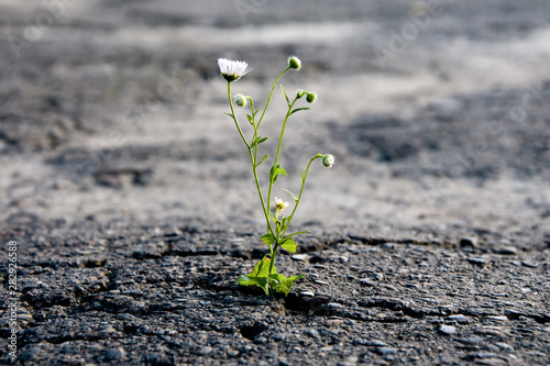 A lonely flower makes its way through the city asphalt, craving for the sun and Tablou Canvas