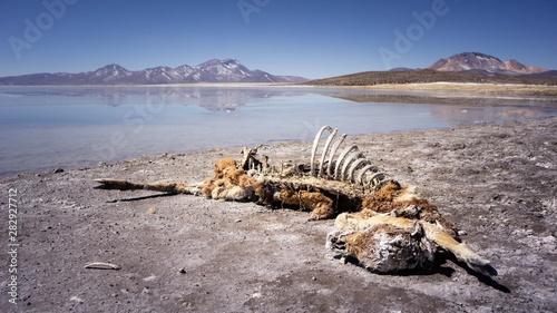 Vicuña muerta, esqueleto y huesos en lago Canvas Print