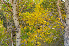 Early Autumn Leaves In Lee Vining