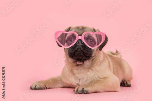 Cute young pug dog wearing pink heart shaped sunglasses lying down on a pink background