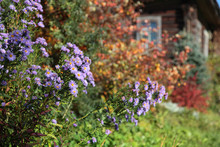 Blooming Lilac Asters In The G...