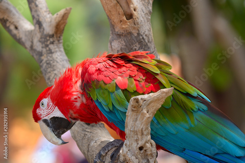 Photo  Red ara parrot, colorful macaw - bird sitting on the branch.