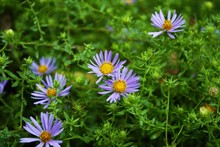 Bright Purple Aster Flowers Blooming In The Garden