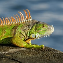 Green Iguana By The Water