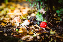 Young Fly Agaric, Selective Focus