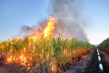 Sugar Cane Fire Burning In Fie...
