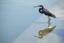Tricolored Heron Looks Out Ove...