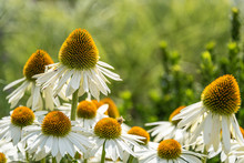 White Cone Flowers Blooming With A Bee Feeding On One, Green Background