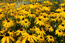 Black-eyed Susan Flowers Growi...