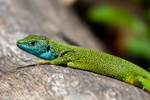 Male Of Green Lizard Lacerta Viridis On A Tree Trunk