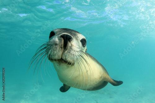 Plakaty zwierzęta   australian-sea-lion