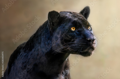 Poster Panther portrait of a jaguar