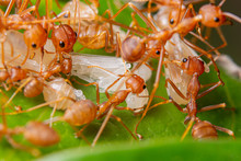 Macro Red Ants Are In Nature