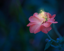 Fairy On The Pink Flower Going Magic