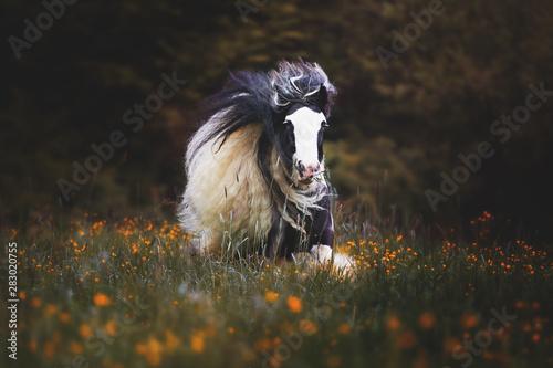 Obraz na plátně  Tinker Pony