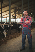 Farmer In A Cowshed On A Dairy...
