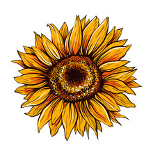 Sunflower Hand Drawn Vector Il...