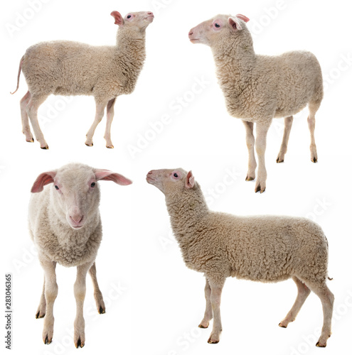 Photo sur Aluminium Sheep sheep isolated on a white background - collection