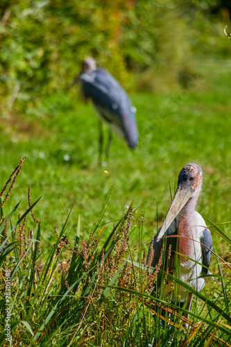 Photo Greater adjutant stork at the water.