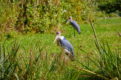 Greater adjutant stork at the water. Canvas Print