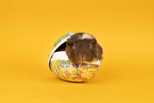 Brown And Yellow Adult Guinea ...