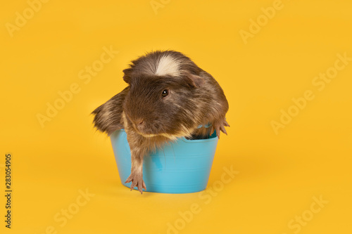 Pinturas sobre lienzo  Brown and yellow adult guinea pig sitting in a tiny blue bath in a yellow backgr
