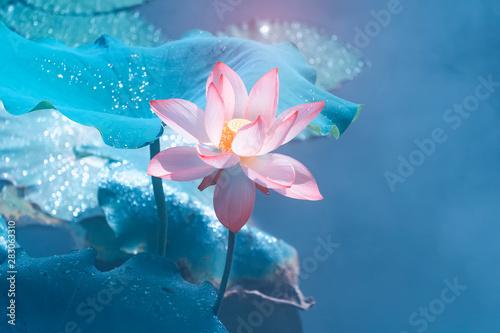 Montage in der Fensternische Lotosblume Lotus flower and Lotus flower plants