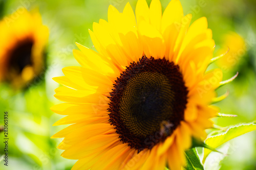 In de dag Zonnebloem Sonnenblume mit Biene