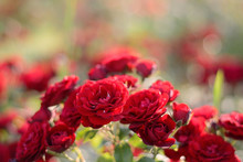 Red Roses Blooming Background. Red Roses Bush In Sunlight Closeup