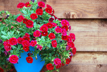 Deep Red Ampelous Mini Petunia Flowers In Turquoise Blue Pot Against Wooden Wall Background.  Superbells Calibrachoa Hybrid