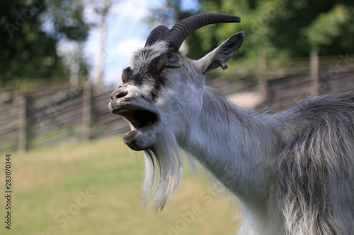 close-up of a goat that opens its mouth and bleats. Fototapete