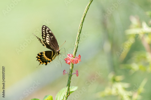 Swallowtail butterfly on nectar