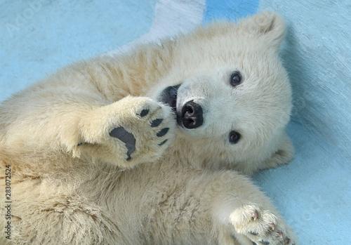 Recess Fitting Polar bear polar bear on a background of blue sky