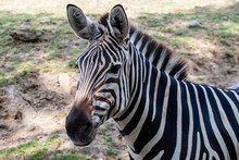 Zebra In Seiner Natürlichen Umgebung