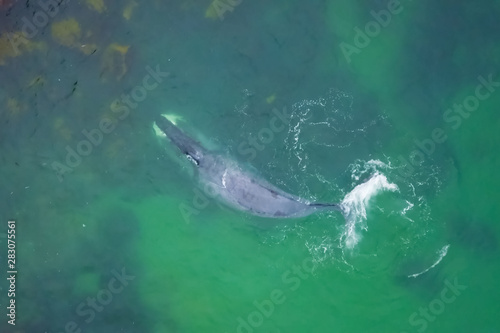 Gray whale in shallow ocean. Whale